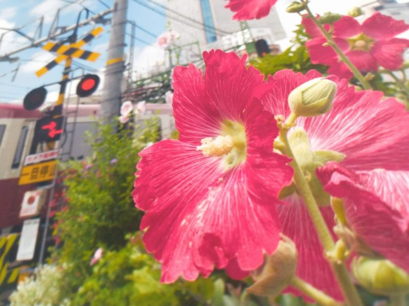 京急の赤い電車の横に咲く赤い花のアップ