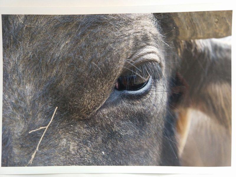 牛の瞳に焦点をあてた写真