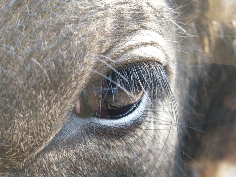 牛の瞳に焦点をあてた写真をアップにしたもの
