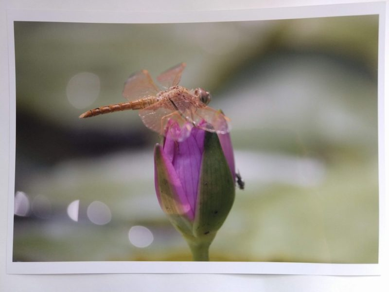 蓮の花の先に止まるトンボの写真
