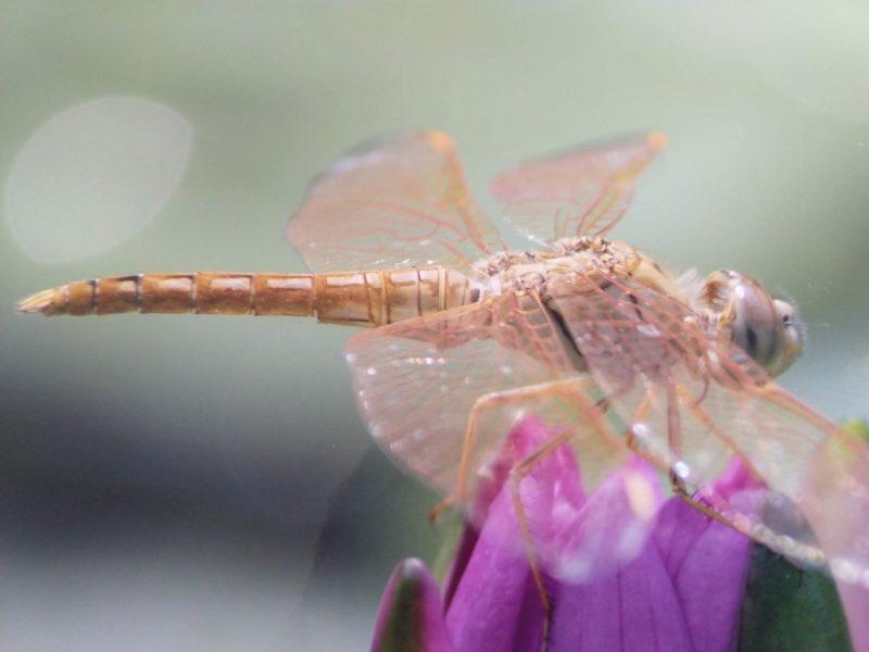 蓮の花の先に止まるトンボの写真をアップにしたもの