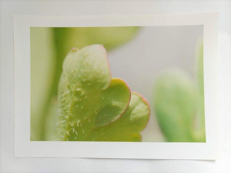 多肉植物の葉の先のクローズアップの写真